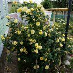 Фото 31: Розы дома