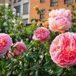 Фото 24: Розы розовые