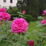 Фото 28: Садовые розы