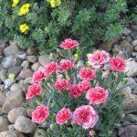 Фото 42: Садовый гвоздики