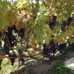 Фото 44: Стена из винограда