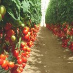 Фото 31: Теплица с помидорами