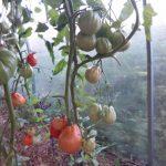 Фото 42: Томаты с помидорами