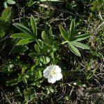 Фото 18: Трава лапчатка