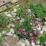 Фото 44: Турецкая гвоздика фото
