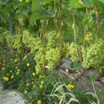 Фото 47: Ухаживание за виноградом