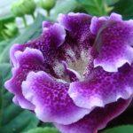Фото 66: Фиолетовый сорт глоксинии