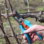 Фото 49: Фото обрезки винограда весной