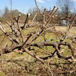 Фото 50: Фото обрезки винограда