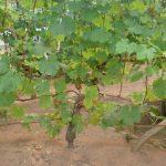Фото 7: Фото подкормка винограда