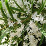 Фото 42: Цветок аспарагус фото