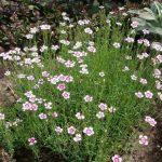 Фото 47: Цветок садовый