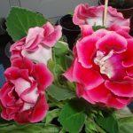 Фото 70: Цветок синнингия