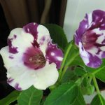 Фото 4: Цветы Глоксиния
