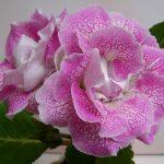 Фото 3: Цветы глоксиния розовая