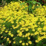 Фото 28: Цветы кореопсиса многолетний