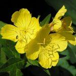Фото 7: Энотерна цветок