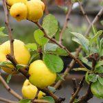 Фото 16: Айвы плоды