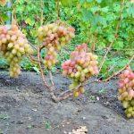 Фото 11: Виноград маленький