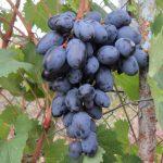 Фото 1: Виноград осенний