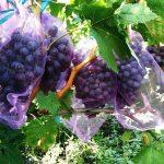 Фото 81: Виноград сорт Амурский прорыв