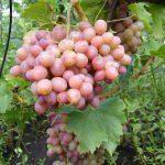 Фото 104: Виноград сорт Ливия