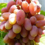 Фото 69: Виноград сорт