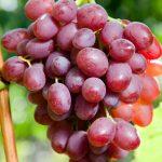 Фото 105: Виноград сорт