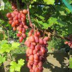 Фото 3: Виноград сорт