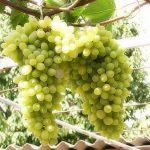 Фото 110: Виноград флора