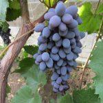 Фото 32: Виноград