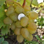 Фото 57: Виноград