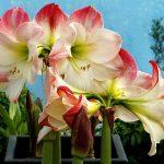 Фото 18: Гиппеаструм цветок