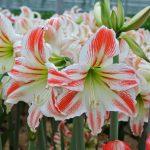 Фото 21: Гиппеаструсы цветы