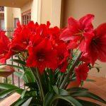 Фото 32: Красные гиппеаструмы