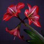 Фото 42: Луковичные цветки