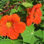 Фото 44: Настурция фото цветка