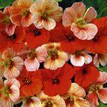 Фото 18: Настурция цветок фото