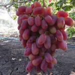 Фото 6: Преображение сорт винограда