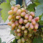 Фото 44: Преображение фото винограда