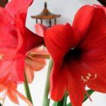 Фото 58: Цветок гиппеаструм