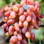 Фото 18: Сорт винограда Преображение