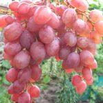 Фото 89: Сорт винограда Румба