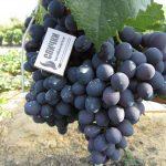 Фото 40: Сорт винограда восторг