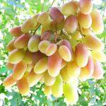 Фото 25: Сорт винограда преображение