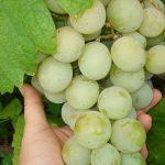 Фото 23: Сорт винограда
