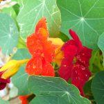 Фото 62: Съедобные цветки