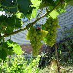 Фото 96: Фото винограда