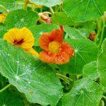 Фото 37: Фото цветка настурции