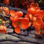 Фото 49: Хенолепес красный